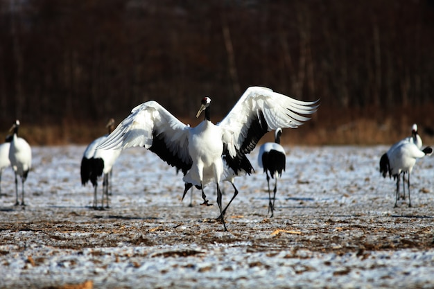 Black-necked crane landing on the ground covered in the snow in hokkaido in japan