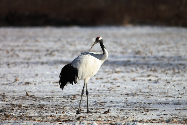Black-necked crane standing on the ground covered in the snow in hokkaido in japan