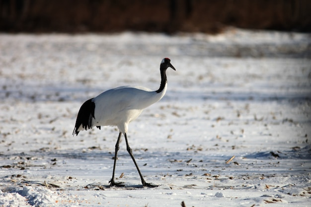 Black-necked crane standing on the ground covered in the snow under the sunlight in hokkaido, japan
