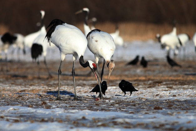 Black-necked cranes eating dead fish on the ground covered in the snow in hokkaido in japan