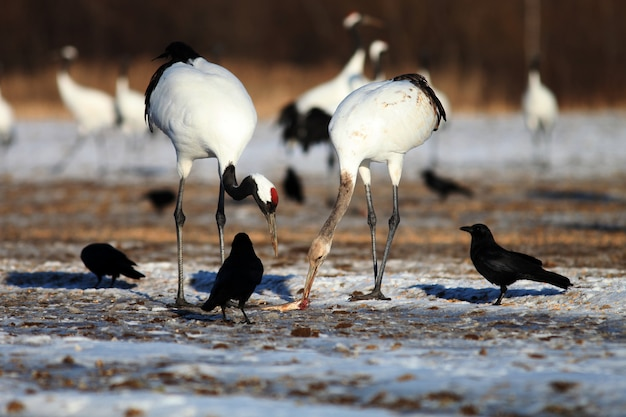 Black-necked cranes eating dead fish on the ground covered in the snow