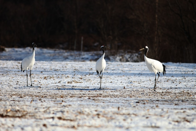 Black-necked cranes standing on the ground covered in the snow in hokkaido in japan