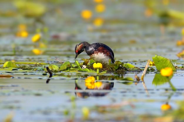 巣を作る羽の繁殖におけるハジロカイツブリ。 Premium写真