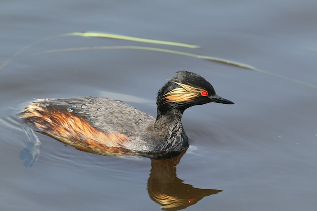 Black necked grebe swimming in blue water