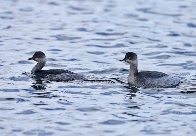 겨울 깃털이 물에서 헤엄치는 검은 목 또는 긴 귀 농포(podiceps nigricollis)