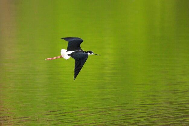 Black-necked stilt in flight with springtime reflections