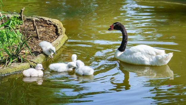 Лебедь с черной шеей и множество маленьких лебедей вокруг него.