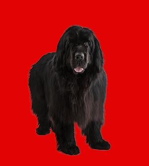Черная ньюфаундлендская собака на красной стене