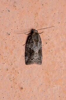 Черно-оливковая гусеница вида garella nilotica в стене