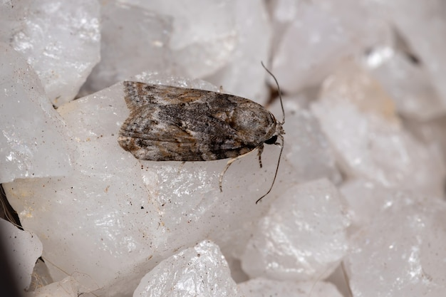 Garella nilotica 종의 블랙 올리브 애벌레 나방