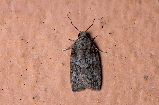 Черно-оливковая гусеница вида garella nilotica