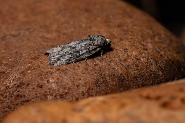 Black-olive caterpillar moth of the species garella nilotica