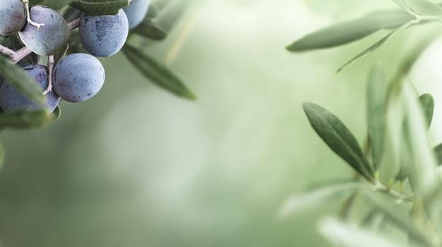 Черные оливки, растущие на оливковом дереве. букет из оливковых фруктов на зеленом размытом фоне.