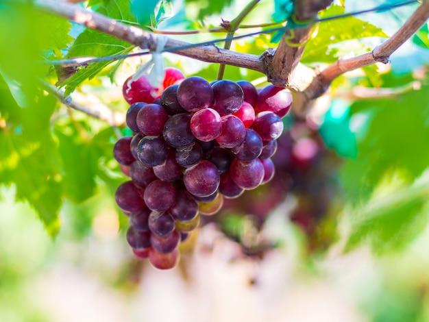 Виноград блэк опор это популярный виноград без косточек с особым вкусом.