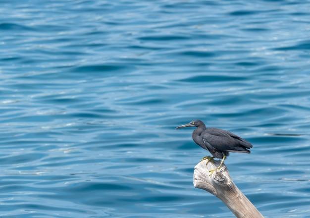 Цапля черного тихоокеанского рифа стоит на сухой скале в море