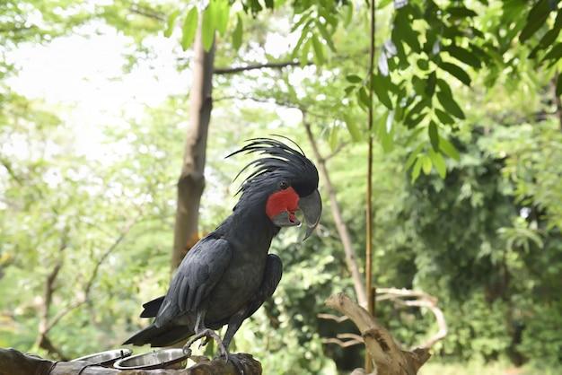 Черный пальмовый какаду (хоботок), сидящий на ветке