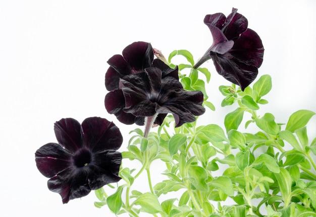 Black petunia flower