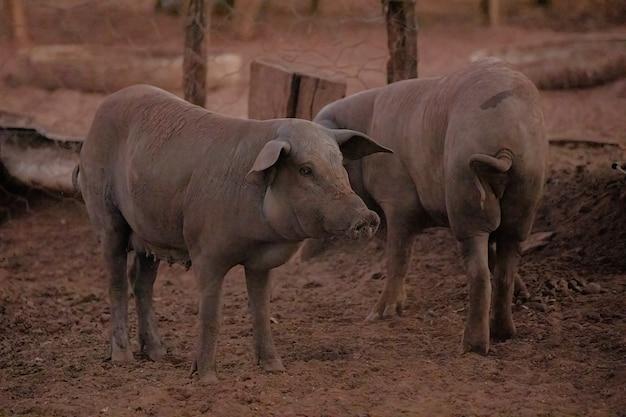 선택적 초점 농장 촌에서 자란 검은 돼지