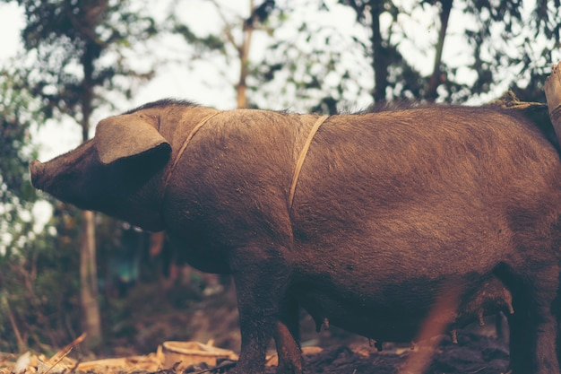 Black pig in the local village, asia