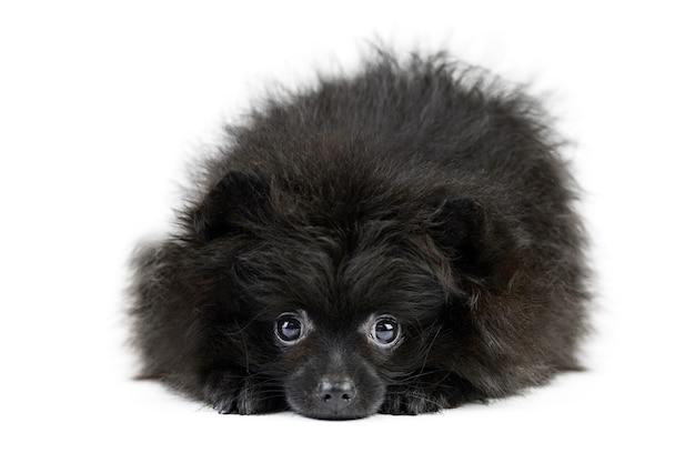 黒ポメラニアン子犬スピッツ、孤立。かわいいポメラニアン、白い背景。家族向けの小さなスピッツポメラニアン
