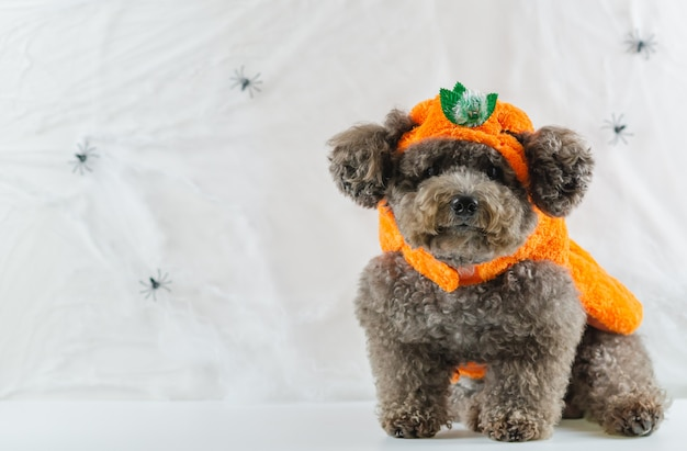 Black poodle dog wearing pumpkin dress.