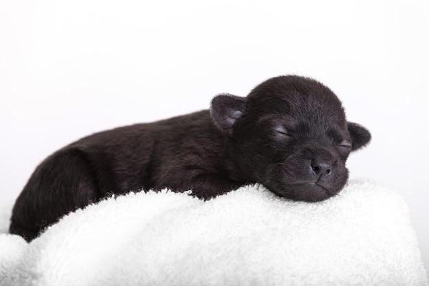 양모 품종 xoloitskintli의 검은 강아지