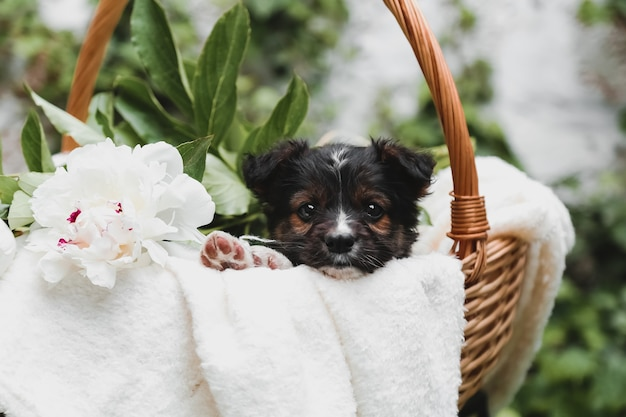 Black puppy portrait with raws sits in basket on white wall background. happy dog gift present with bouquet of white peonies flowers outside in summer.
