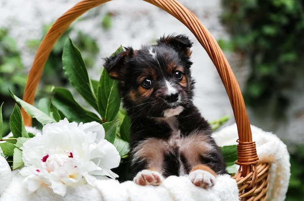 Black puppy sits in basket with peony flowers on background of green nature. happy dog pooch, not purebred on white blanket with flower outside in summer. dog surprise gift in basket.