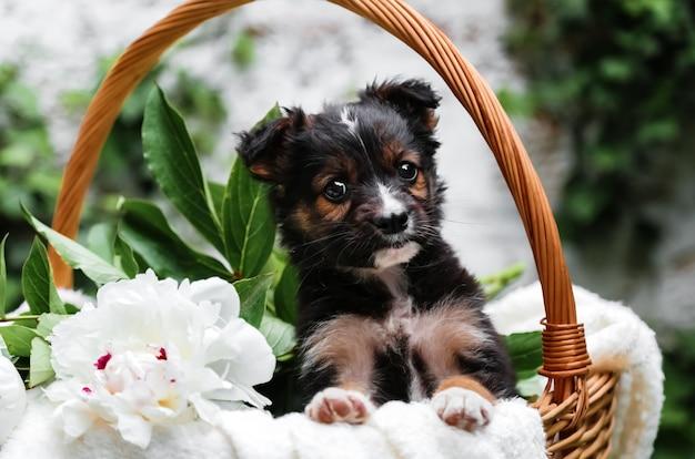 Черный щенок сидит в корзине с цветами пиона на фоне зеленой природы. счастливый пес, беспородный на белом одеяле с цветком на улице летом. подарок-сюрприз собаки в корзине.