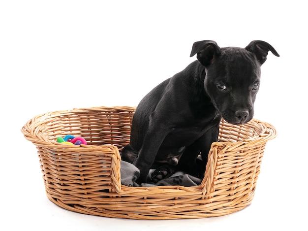 Черный стаффордширский щенок (три месяца) в плетеной корзине на белой стене