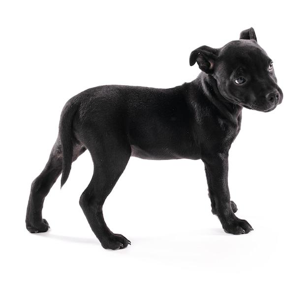 白い背景の上に立っている黒い子犬スタッフォードシャー(3ヶ月)