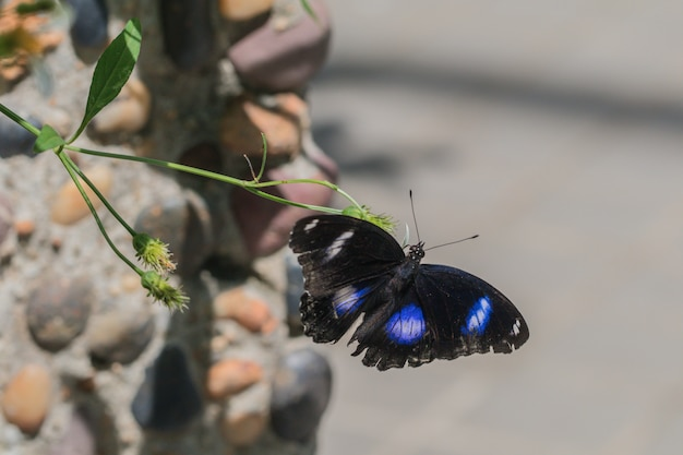 Black and purple butterfly with flower flying in the garden and feeds on nectar