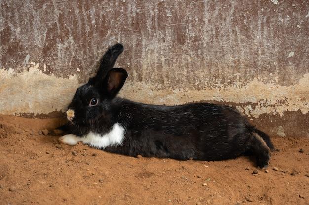 地面で休んでいる黒いウサギまたはウサギまたはウサギ