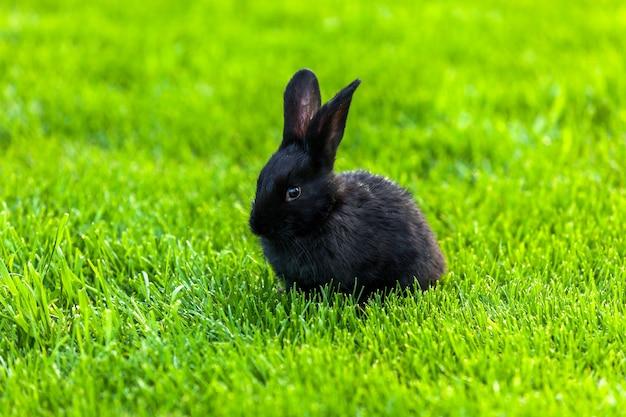 黒うさぎ。緑の草の上に一緒に座っている小さな黒いかわいいウサギがクローズアップ。芝生の上のウサギ緑の草の上のウサギ、おびえたウサギ、ウサギと子供。