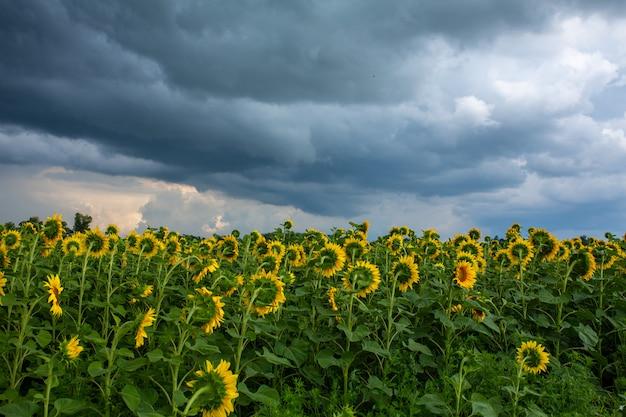 Черные дождевые облака над полем подсолнухов