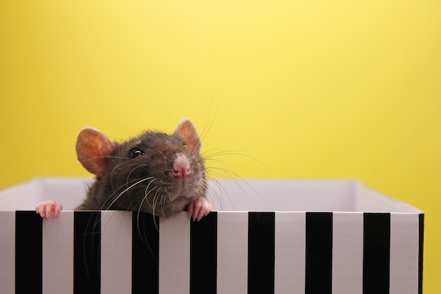 A black rat peeks out of the box. the concept of the year of rat