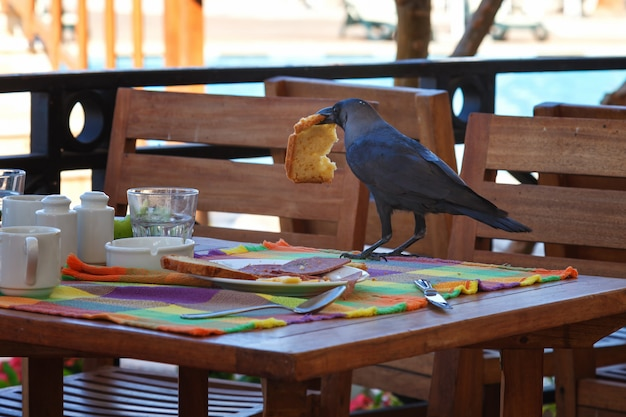Black raven steals food from the table in a cafe