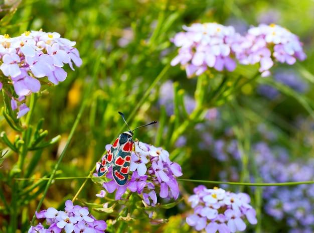 Черно-красная бабочка на розовом летнем цветке (крупный план)