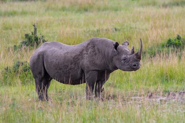 Black rhino in masai mara national park