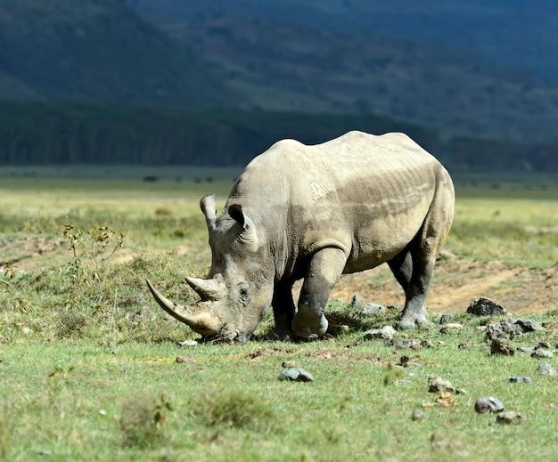 ケニアのナクル国立公園のクロサイ