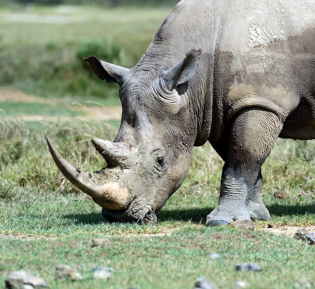Черный носорог в национальном парке накуру в кении