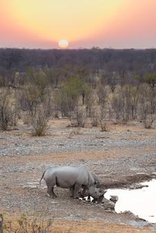 Black rhinos drinking from waterhole at sunset.