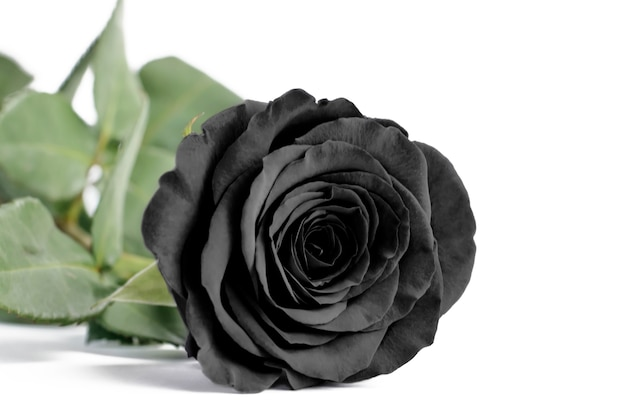 Black rose close up on a white isolated background,soft focus