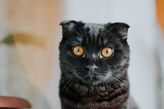 A black scottish fold cat with yellow eyes.
