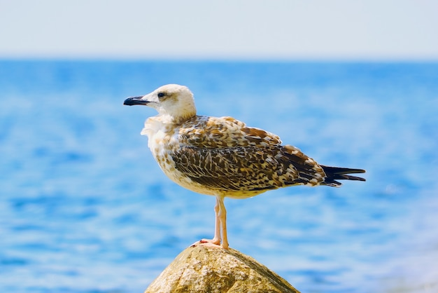 The black sea gull sitting on a rock on the sea background.