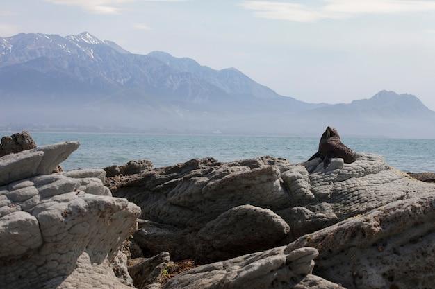 ニュージーランド、カイコウラの黒いアシカ