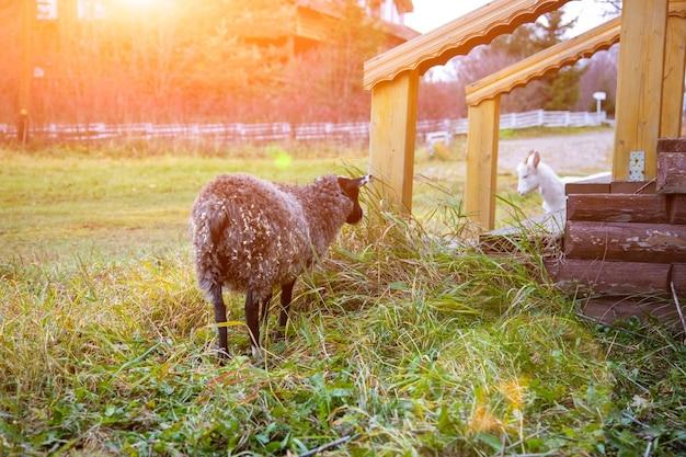 집 현관 근처 풀밭에서 풀을 뜯는 검은 양