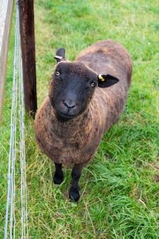 울타리 뒤에 있는 동물 농장의 푸른 풀밭에 있는 검은 양