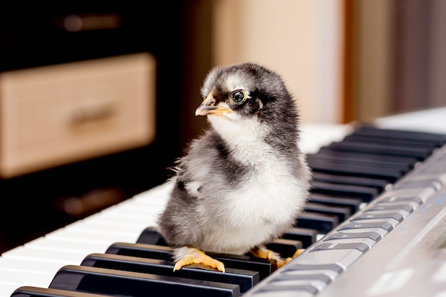 Black small chicken  on the keys of the piano. the first steps in music. learning at a music school. concert of young performers_