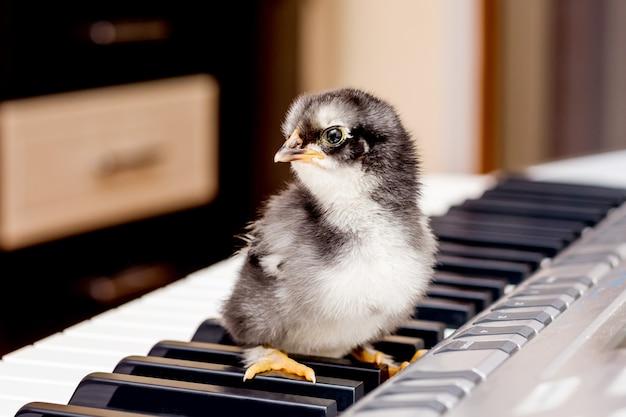 ピアノの鍵盤に黒い小さな鶏肉。音楽の第一歩。音楽学校で学ぶ。若いパフォーマーのコンサート_